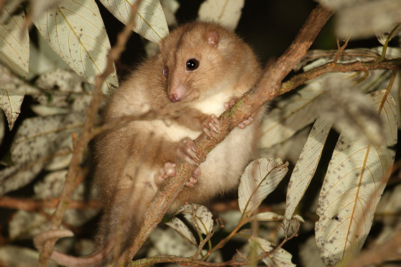 Daintree ringtailed possum Pseudochirulus cinereus
